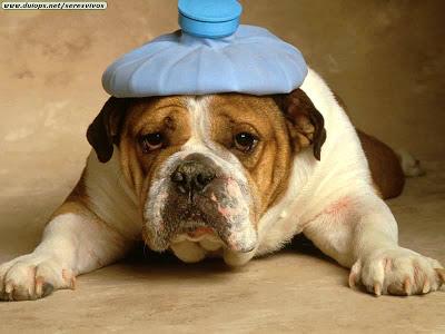 Bulldog With Headache